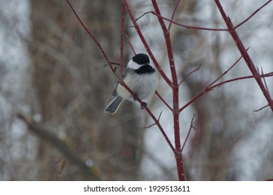 Black-capped Chickadee (poecile atricapillus) perched on red branches