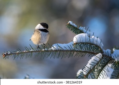 A black-capped chickadee, Poecile atricapillus, perched on a snowy spruce branch.