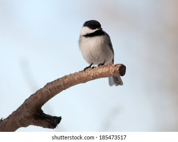 Black-capped chickadee (Poecile atricapillus) , perching on end of tree branch, isolated against muted background
