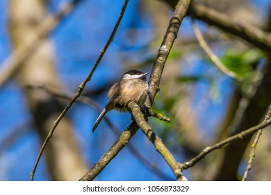 Black-capped chickadee (Poecile atricapillus) photographed in late winter perched on a branch in our backyard in Seattle. The background is blurred blue, green, and brown.