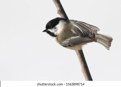 black-capped chickadee (Poecile atricapillus) in winter