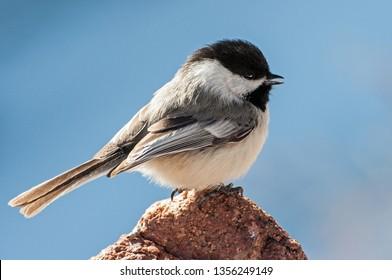 Black-capped Chickadee posing