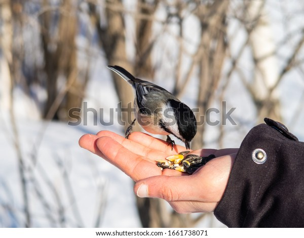 blackcapped-chickadee-standing-on-open-6