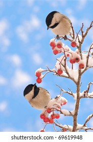 Black-capped Chickadee twins (Poecile atricapillus) on a snowy Hawthorn branch.