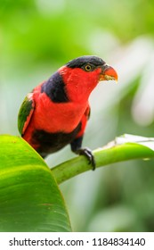 Black-capped Lory - Lorius lory, beautiful red and blue parrot from New Guinea forest and woodlands.