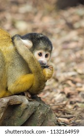 The black-capped squirrel monkey (Saimiri boliviensis) is a South American squirrel monkey, found in Bolivia, Brazil and Peru.