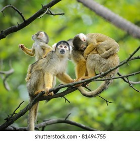Black-capped squirrel monkeys  sitting on tree branch with their cute little babies with jungle in background