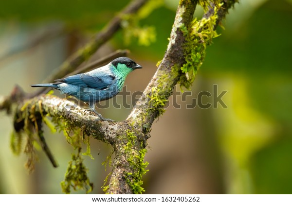 Black-capped tanager (Tangara heinei) or sometimes found under Stilpnia heinei, is one of the many species of Neotropical bird in the family Thraupidae. It lives in mountains of Ecuador and Colombia