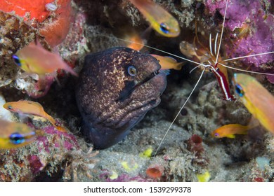 Blackcheek moray or Masked moray (Gymnothorax breedeni) eel, with its head sticking out surrounded with cardinal fish and a shrimp at a cleaning station.