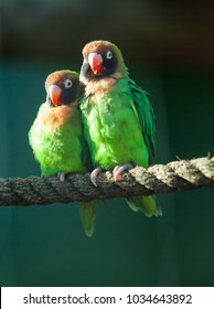 Black-cheeked love birds perched on a rope, cuddling