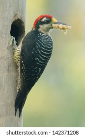 Black-cheeked Woodpecker (Melanerpes pucherani) with food for its chicks