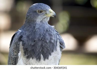 Black-chested buzzard-eagle: Aguila Escudada - Geranoaetus melanolencis