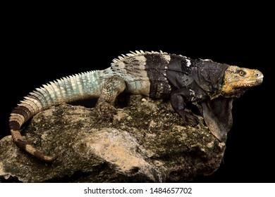 Black-chested Spiny-tailed Iguana (Ctenosaura melanosterna)