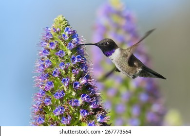 Black-chinned Hummingbird flying to Pride of Madeira flower.