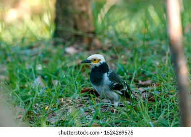 The Black-collared Starling can be easily found in agricultural areas of Thailand.