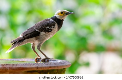 Black-collared Starling perching on clay bowl of water  with blur green bush background