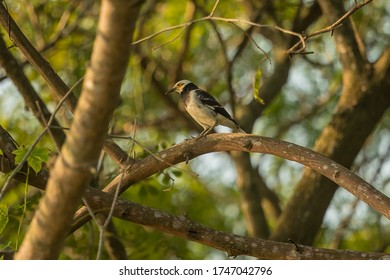 Black-collared Starling (Sturnus nigricollis) in central Thailand