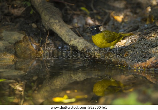 Black-crested bulbul eating water in the nature.
