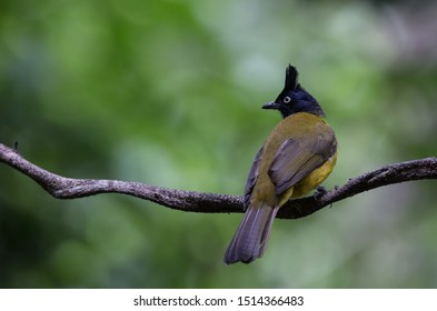 Black-crested Bulbul (Pycnonotus flaviventris) on banch tree in park.