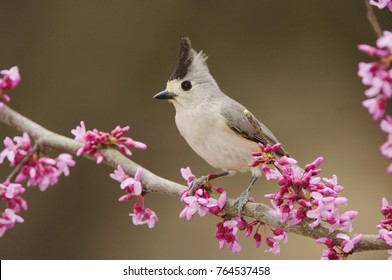 Black-crested Titmouse, Baeolophus atricristatus, adult perched on branch of blooming Eastern redbud (Cercis canadensis), New Braunfels, Texas, USA, March