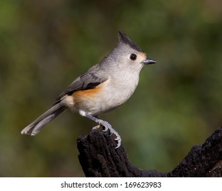 Black-crested Titmouse (Baeolophus atricristatus) perched on a fallen tree in the Texas Hill Country