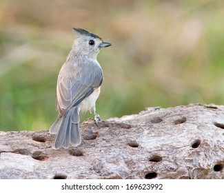 Black-crested Titmouse (Baeolophus atricristatus) perched on a fallen tree near San Angelo in west central Texas.