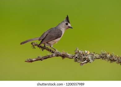 Black-crested Titmouse on a perch during spring migration at Laguna Seca Ranch, April 17, 2015 in Edinburg, TX.