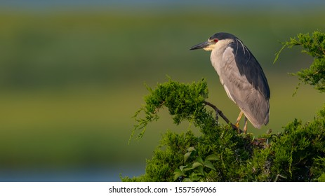 A Black-crowned Night Heron in breeding plumage perched with green background.