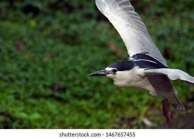 Black-crowned night heron (Nycticorax nycticorax) from the Ardeidae family of birds.