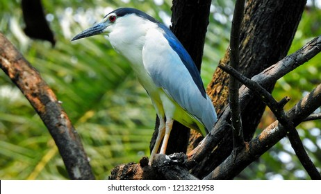 The Black-Crowned Night Heron (Nycticorax nycticorax), or Black-Capped Night Heron, commonly shortened to just night heron in Eurasia.