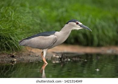black-crowned night heron, nycticorax nycticorax,  black-capped night heron, night heron