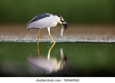 The black-crowned night heron (Nycticorax nycticorax), commonly night heron with green background. Night heron with the fish.