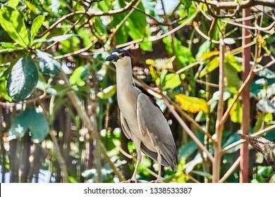 Black-crowned Night Heron (Nycticorax nycticorax) in Guyana