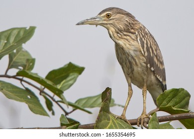 Black-crowned Night Heron (Nycticorax nycticorax), juvenile perched on a branch, Gambia.