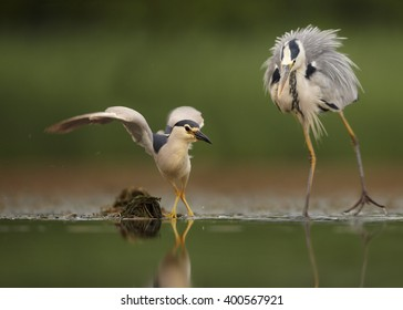 Black-crowned Night Heron, Nycticorax nycticorax, male chased by Grey Heron.