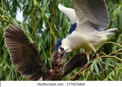 The black-crowned night heron (Nycticorax nycticorax),or black-capped night heron, commonly night heron sitting in the branches.Adult heron demands food for this year's birds. The chick begs for food.