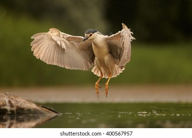 Black-crowned Night Heron, Nycticorax nycticorax, water bird in flight with outstretched wings, landing on old trunk. Photographed from water level.