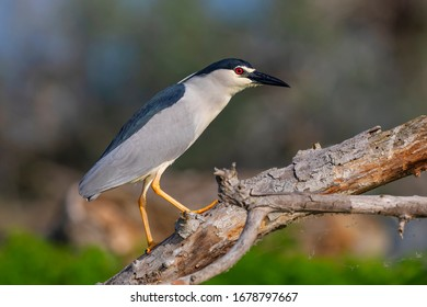 The black-crowned night heron stands on a branch. Night heron from Kerkini lake in Greece.