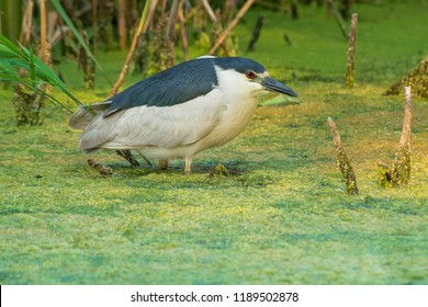 Black-crowned Night Heron wading in the shallow, Duckweed-covered water. High Park, Toronto, Ontario, Canada.