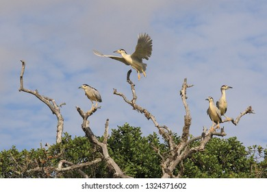 black-crowned night herons or black-capped night herons or night herons, Nycticorax nycticorax, Cape Infanta, South Africa
