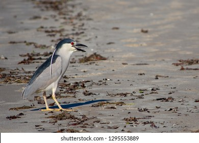 Black-crowned Night-Heron - Brazil