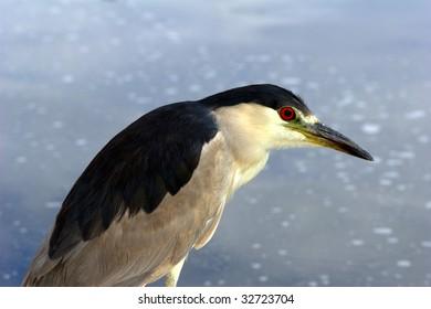 Black-crowned Night-Heron looking at a near-by reflecting lake