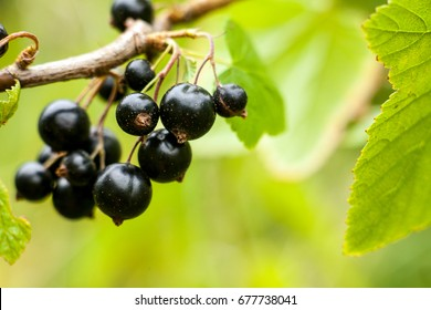 Blackcurrant fruit on the bush. Harvest of ripe fluffy blackcurrant. Black fruits on a green background.