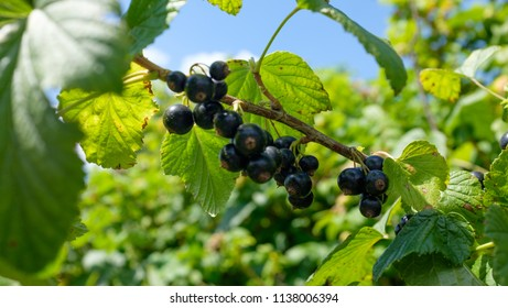 blackcurrant growing on the bush on the background