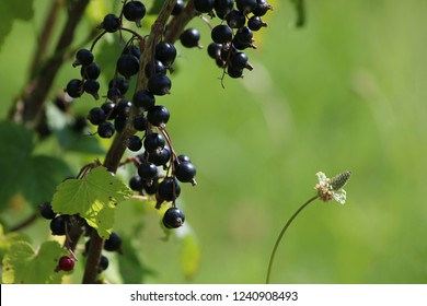 Blackcurrant on bush branch. Blackcurrant on bush. Blackcurrant in garden. Summer berries in Latvia. Green background with black currants.
