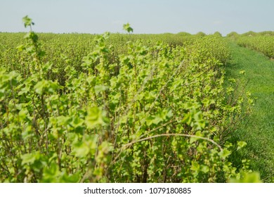 Blackcurrant (Ribes nigrum) growing in a field