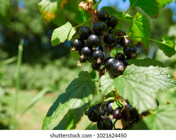 Blackcurrants growing on blackcurrant bushes in a pick your own fruit farm in the English countryside, UK.