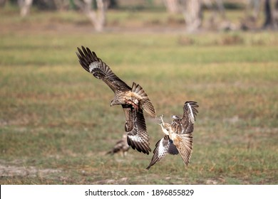 The black-eared kite flies for food in the sky. Landed on an open field