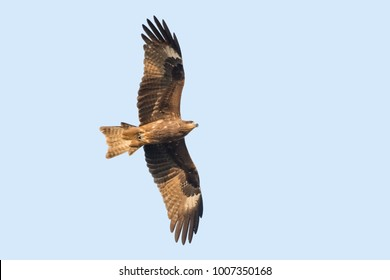Black-eared Kite looking for prey in the sky