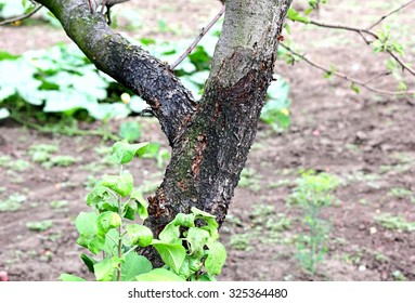 Blackened trunk of apple trees due to lesions of the disease. Photo close up